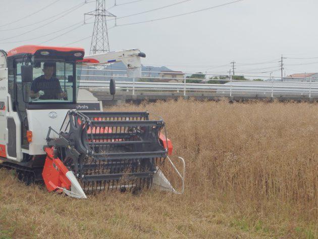 菜種をコンバインで刈取ります