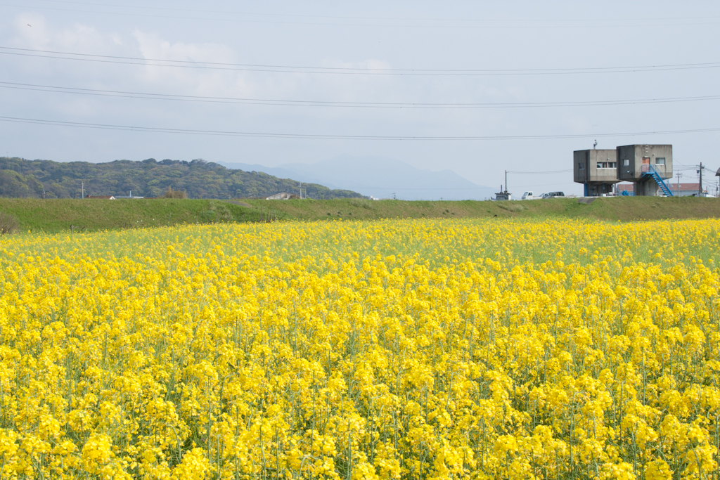 遠賀町の菜の花風景