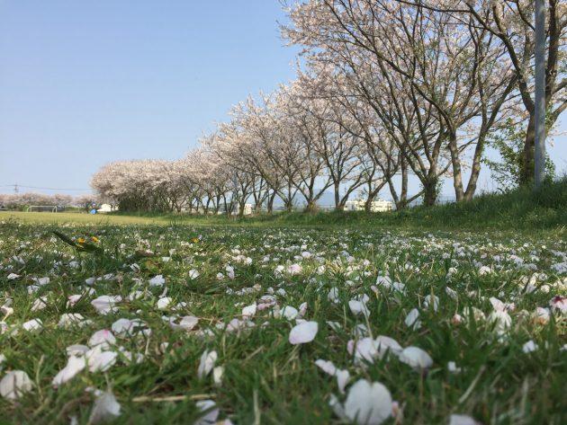 桜の季節ももうすぐ終わります