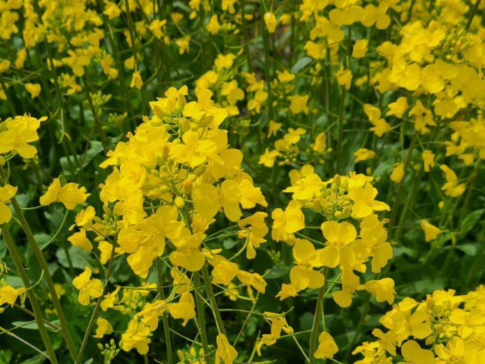 遠賀町の菜の花畑